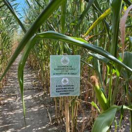 """Labirynt w kukurydzy w Agropark """"Dworek pod Lipą"""" znów otwarty!"""